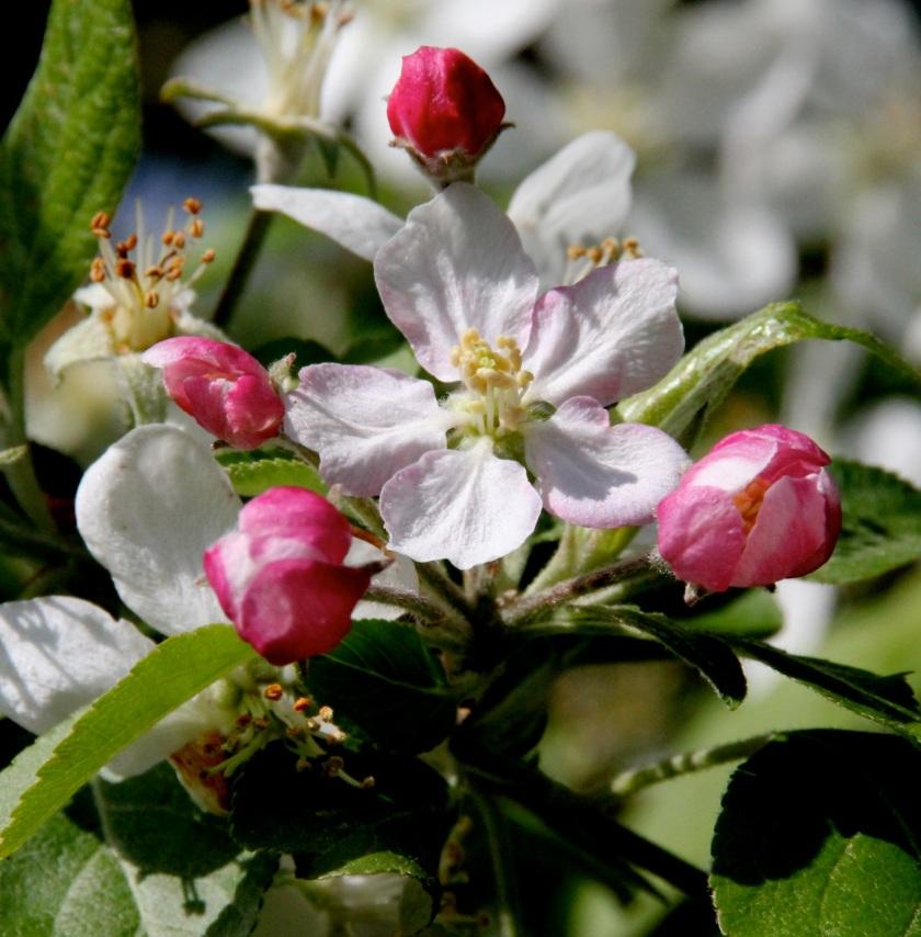 170601bbcut-blossoms1