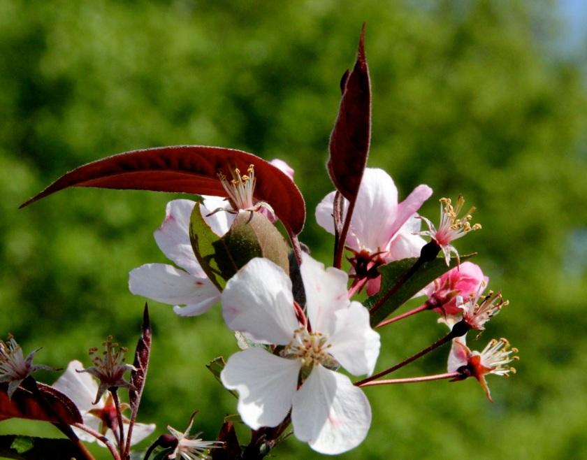 170601bbcut-blossoms3