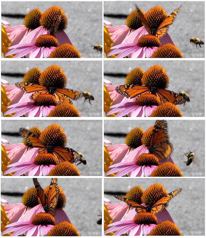 170613bbcut-butterflyvsbumblebee