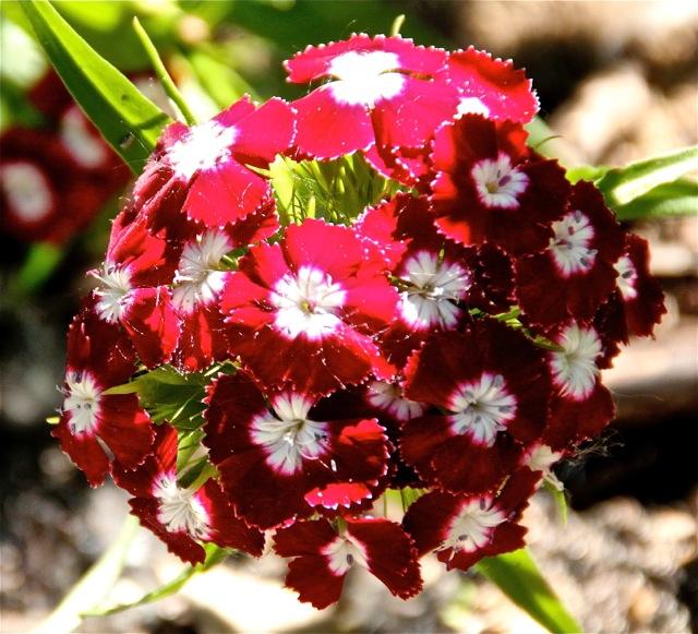 170617bbcut-dianthus