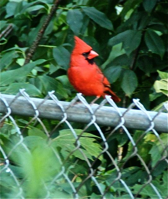 170701bbcut-cardinal