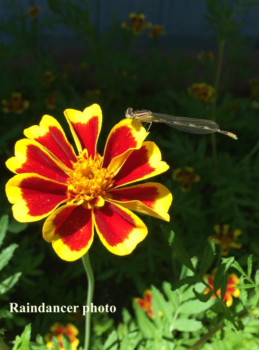 170710bbcut-dragonfly