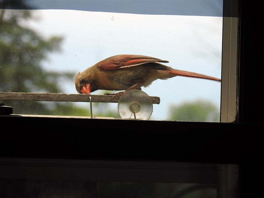 170718bbcut-cardinal2