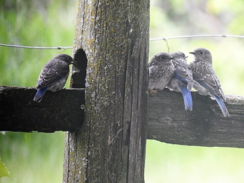 170719bbcut-bluebirds2