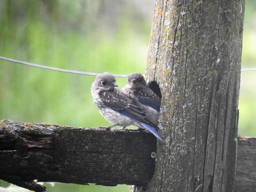 170719bbcut-bluebirds3