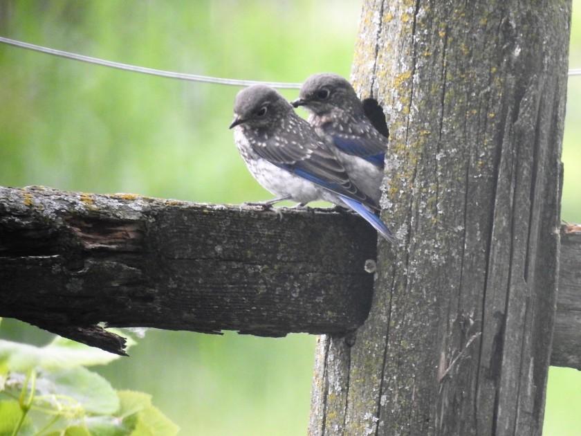 170719bbcut-bluebirds4