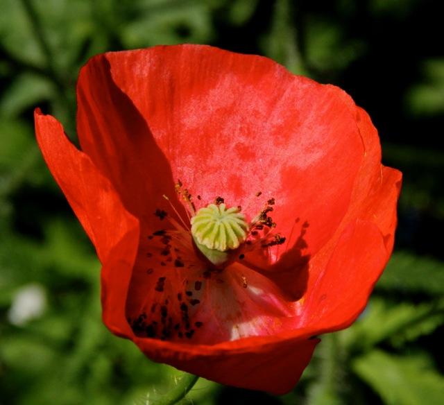 170724bbcut-poppy1