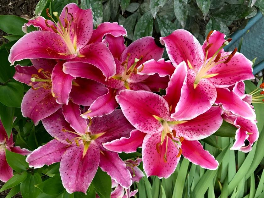 170725bbcut-lily