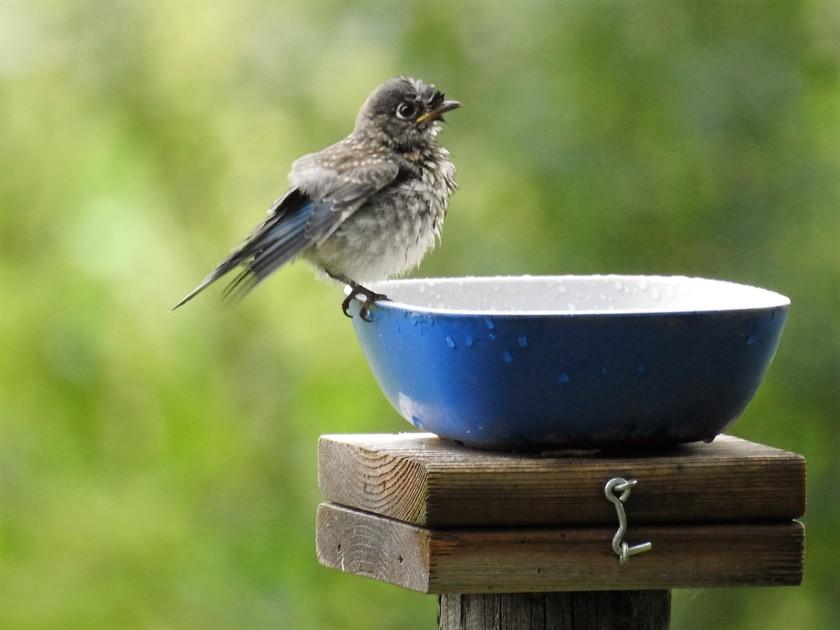 170727bbcut-bluebird1