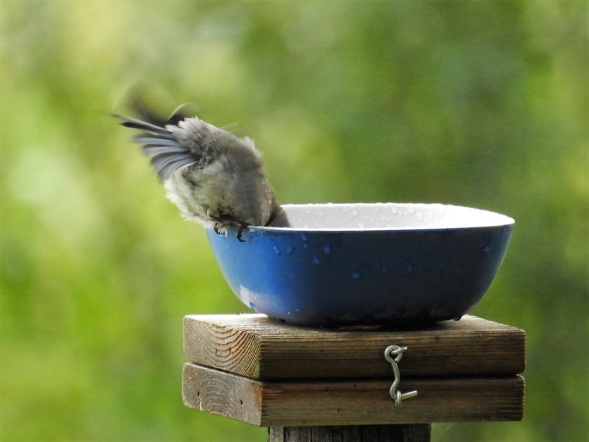 170727bbcut-bluebird3