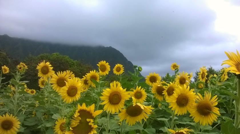 170803bbcut-sunflowers2