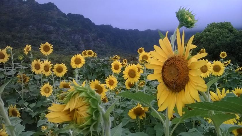 170803bbcut-sunflowers4