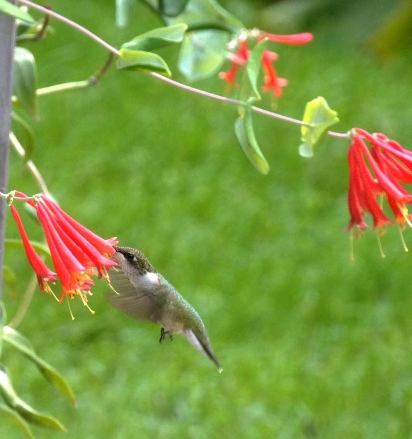 170807bbcut-hummingbird1