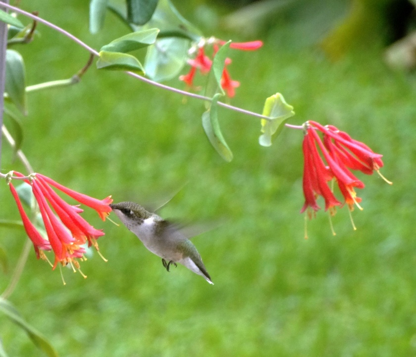 170807bbcut-hummingbird2