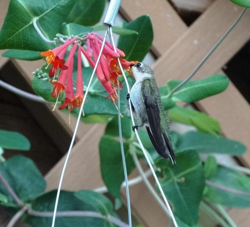 170807bbcut-hummingbird4