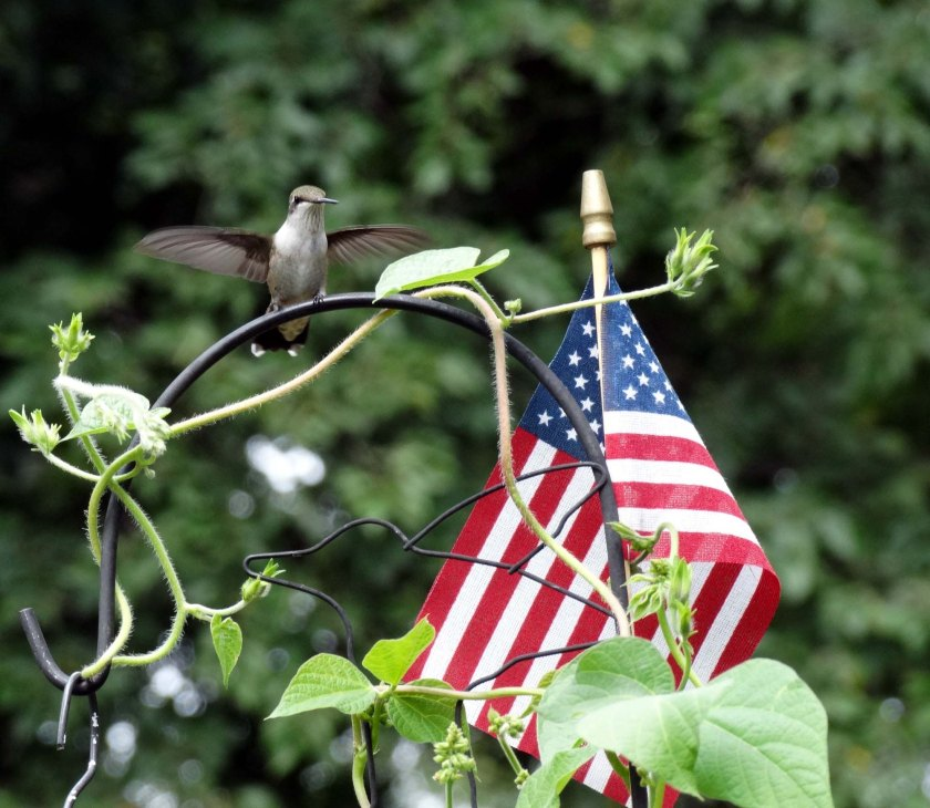 170807bbcut-hummingbird6