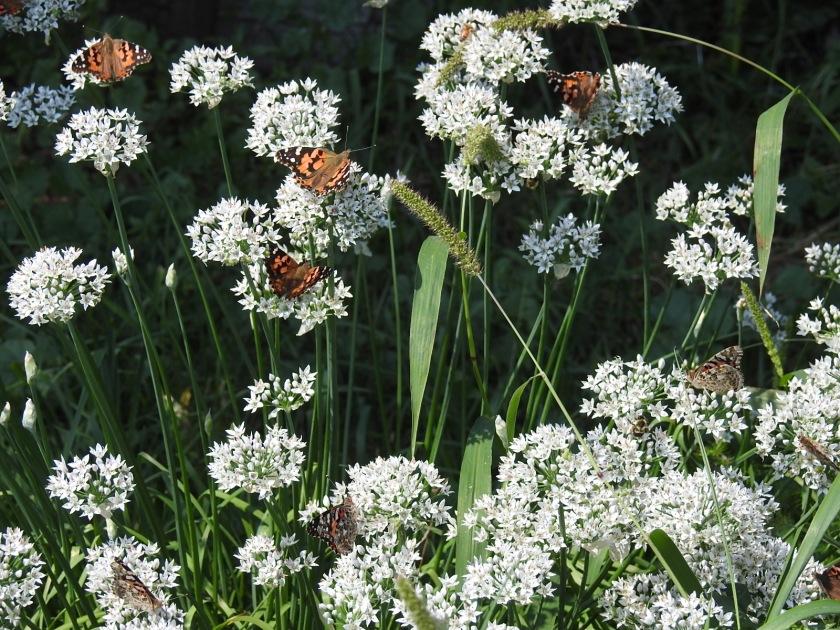 170907bbcut-butterflies1