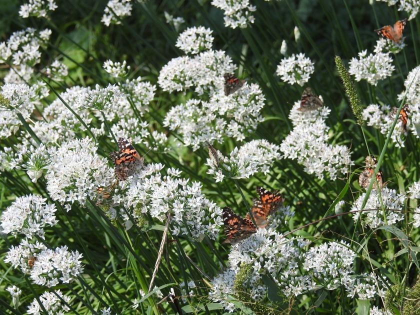 170907bbcut-butterflies2