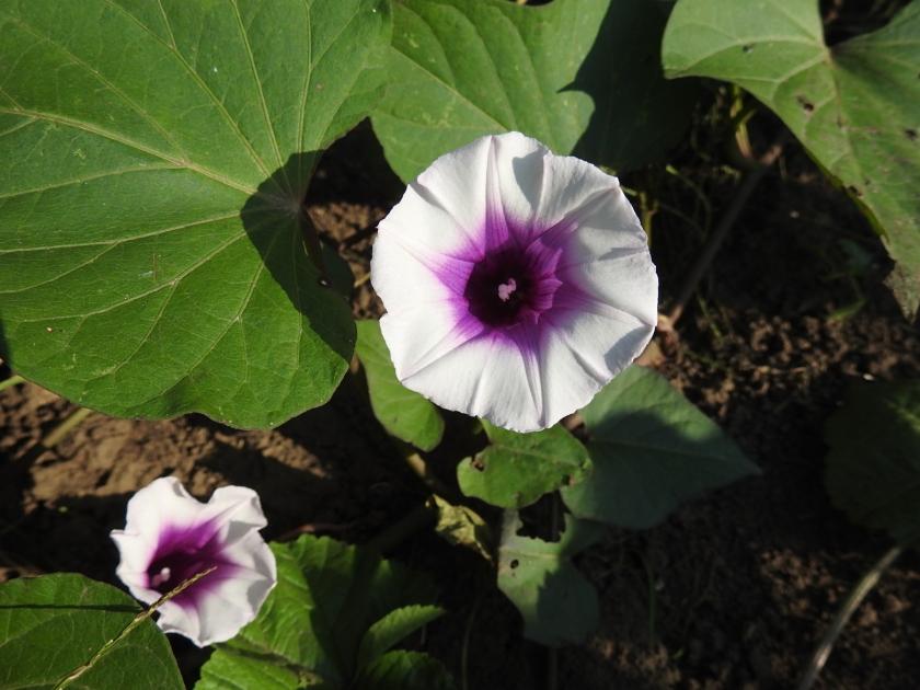 170918bbcut-sweetpotatoflower2