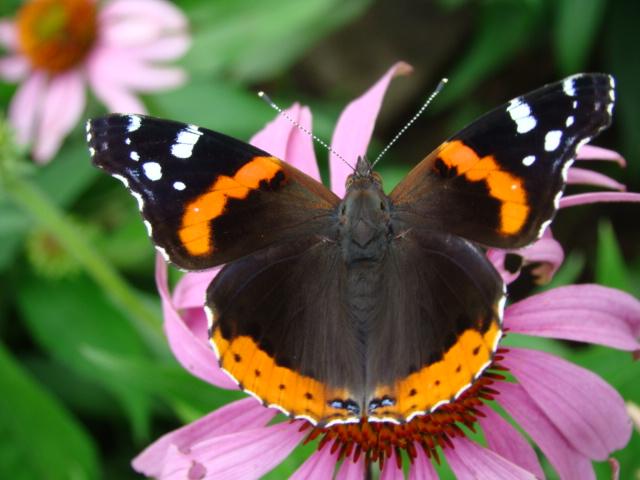 170919bbcut-butterfly