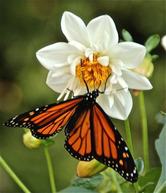 170926bbcut-butterfly3