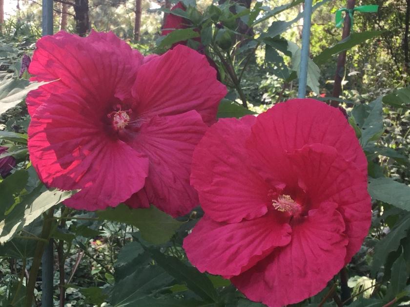 170927bbcut-hibiscus