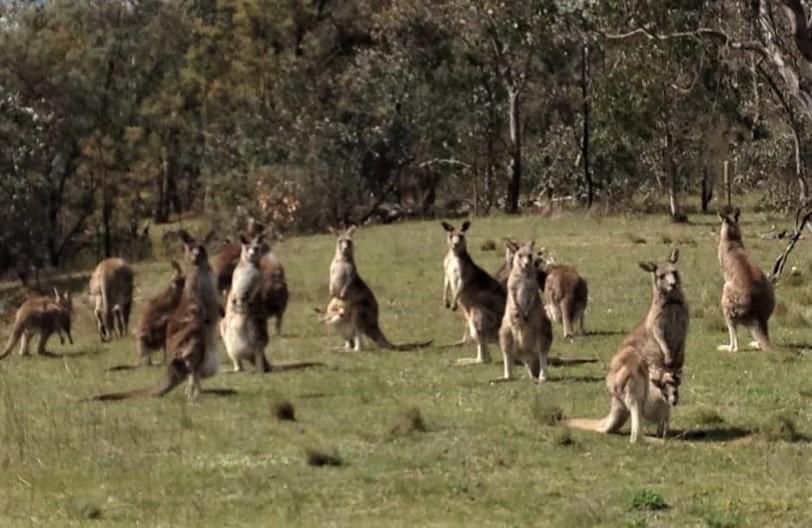 171006bbcut-kangaroos
