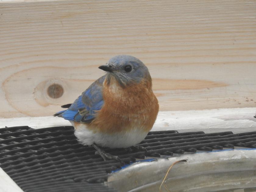 171107bbcut-bluebird1