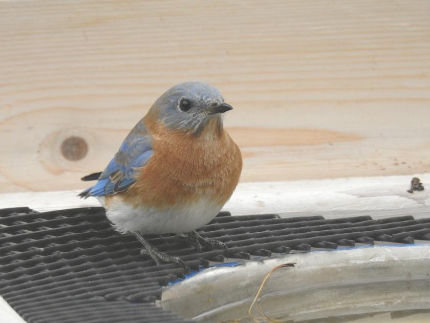 171107bbcut-bluebird2
