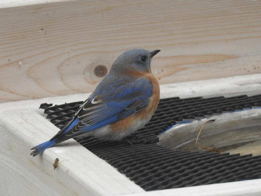 171107bbcut-bluebird3