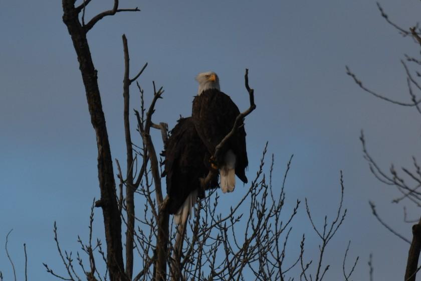 171205bbcut-eagle1
