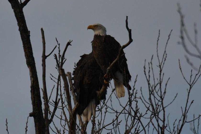 171205bbcut-eagle2