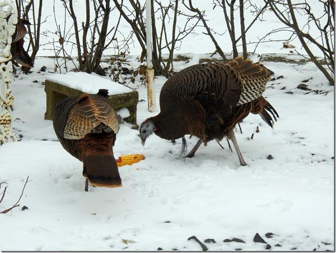 171208bbcut-turkeys4