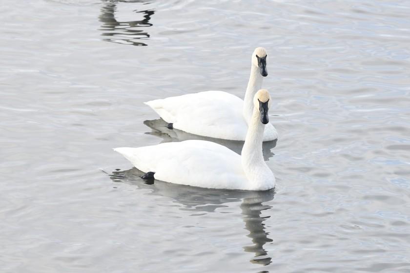 171224bbcut-swans1