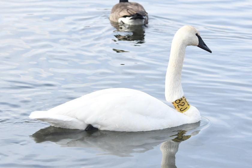 171224bbcut-swans2