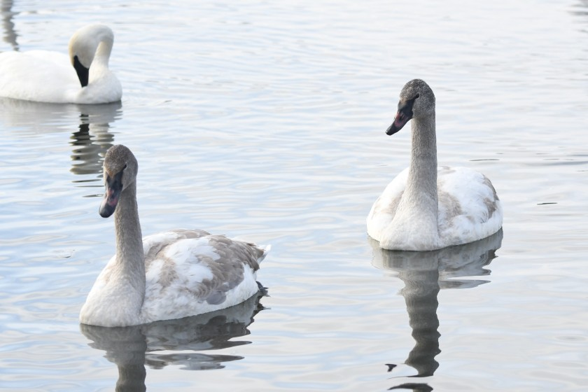 171224bbcut-swans3