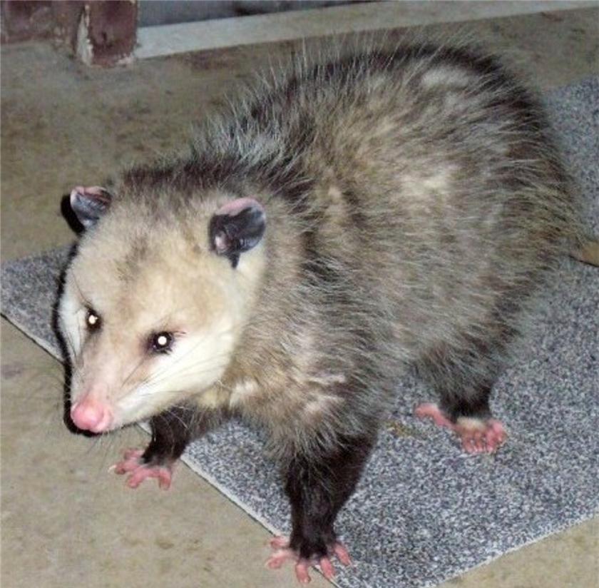 180117bbcut-possum1.jpg