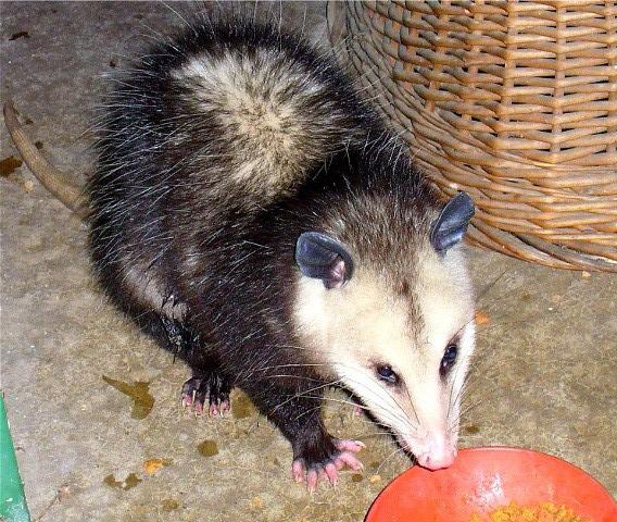 180117bbcut-possum2.jpg