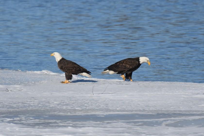 180124bbcut-eagles5