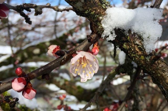 180228bbcut-apricot1