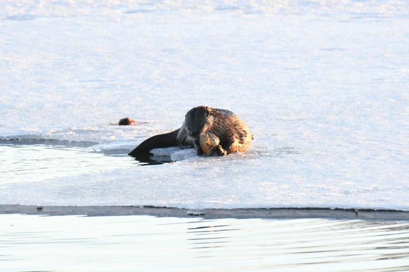 180325bbcut-otters10