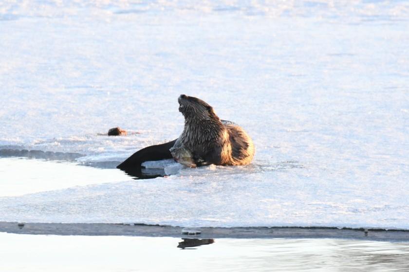180325bbcut-otters6