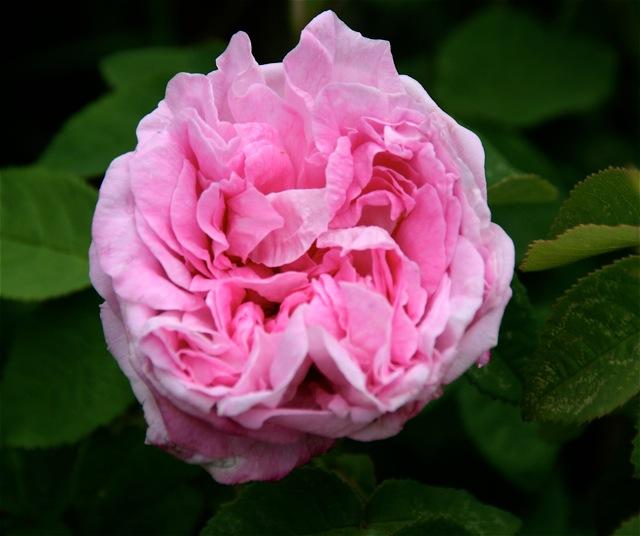 180329bbcut-blooms1