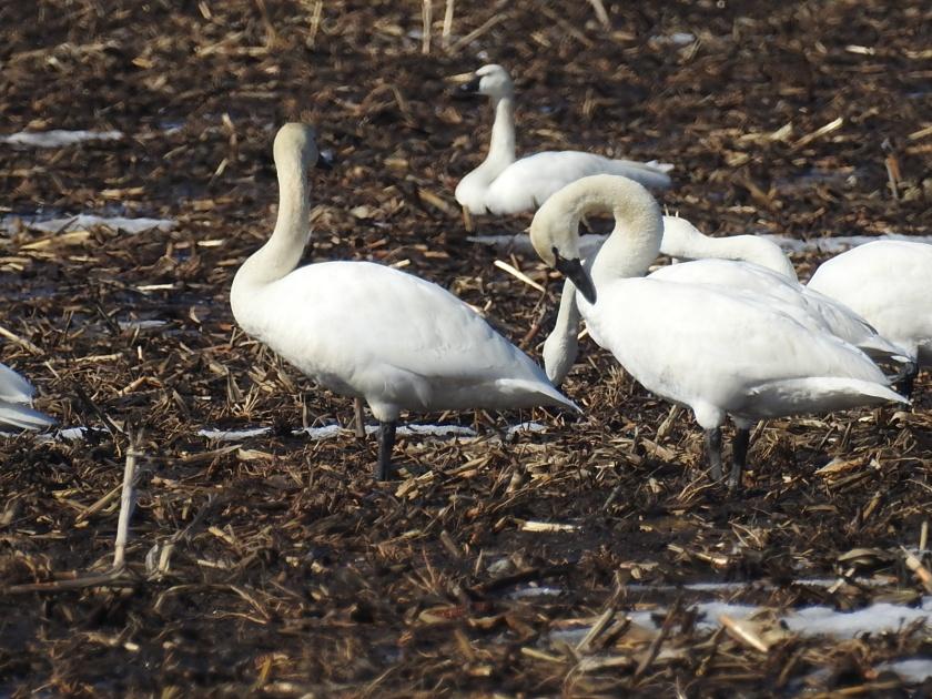 180330bbcut-swans2