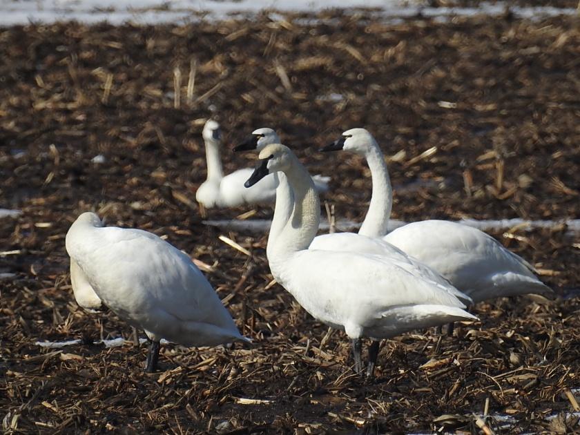 180330bbcut-swans3
