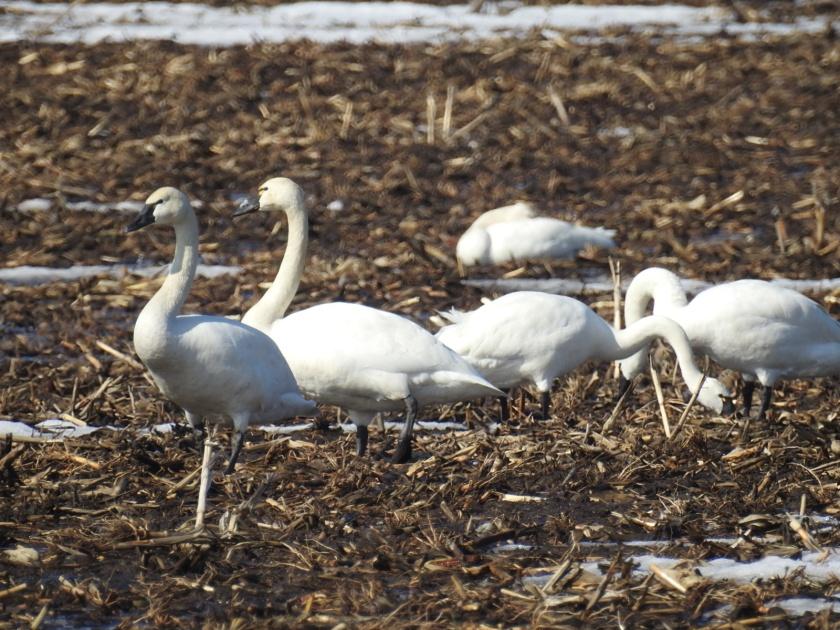 180330bbcut-swans4