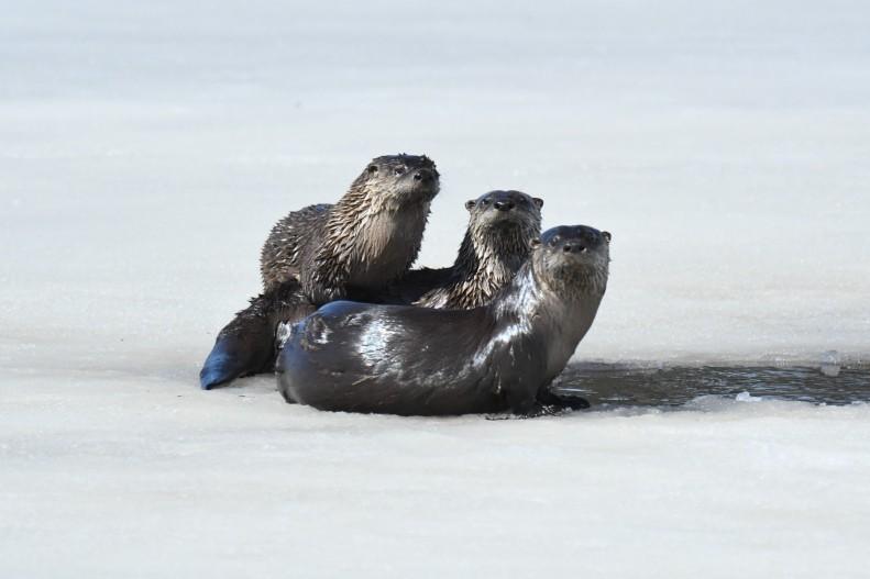 180423bbcut-otters