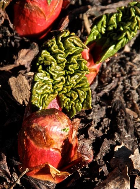 180501bbcut-rhubarb1