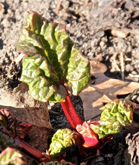 180501bbcut-rhubarb2