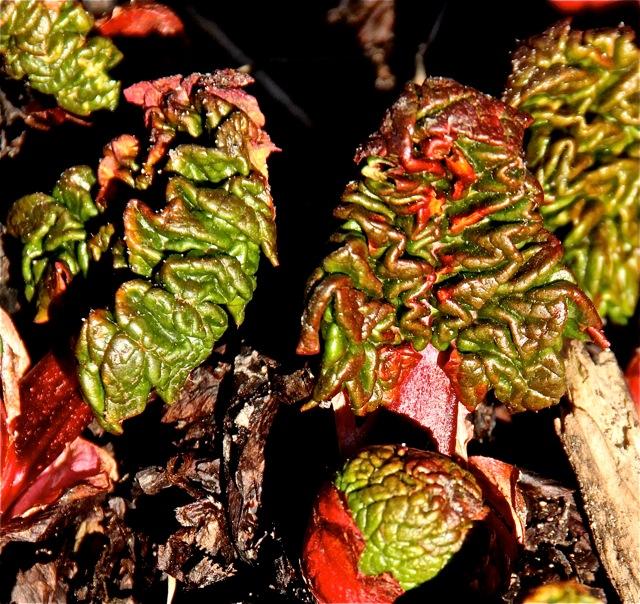 180501bbcut-rhubarb4